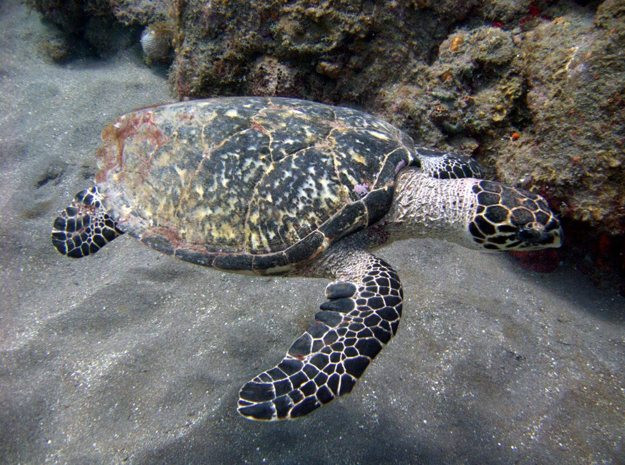 Hawksbill_turtle_off_the_coast_of_saba