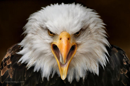 Bald_eagle_medium
