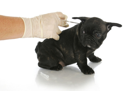 dog being fitted with microchip (shutterstock)