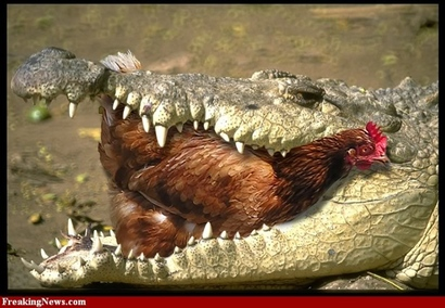 Alligator-eating-a-chicken-55745