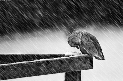 Bird-bird-rain-cold-poor-bird-snow-favim