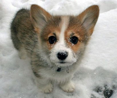Welsh-corgi-puppy-1