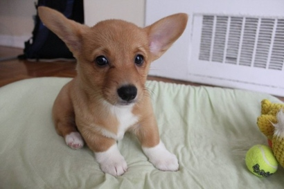 Cute-corgi-puppy-600x400