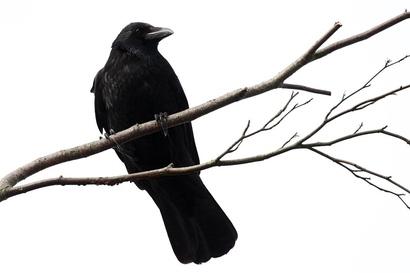 Crow_2501082716