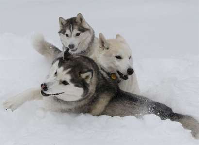 Snow-huskies_pile