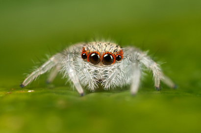 Jumping_spider_2nd_instar_by_macrojunkie