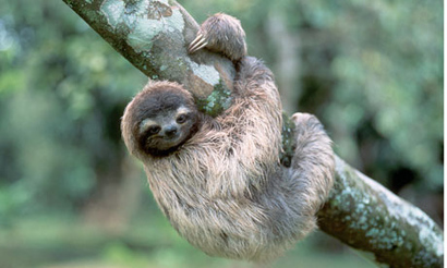 A-three-toed-tree-sloth-h-008
