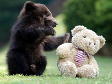 Bear-cub-playing-with-teddy-bear-big_medium