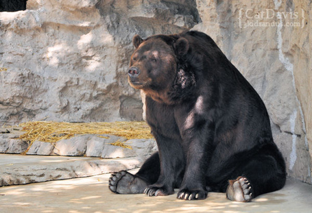 St-louis-zoo-bored-black-bear_medium