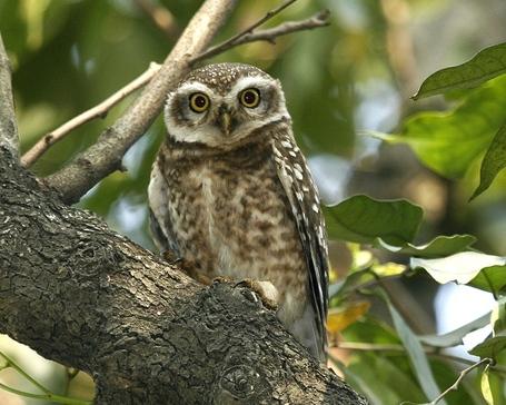 070224_spotted_owl_q0s2745_-_flickr_-_lip_kee_medium