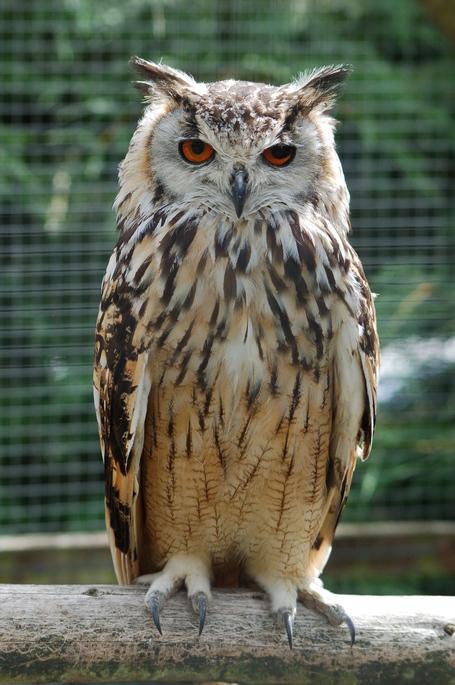 Bengalese_eagle_owl_medium