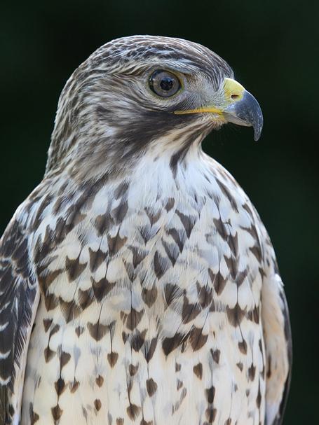 Hawk1md_medium
