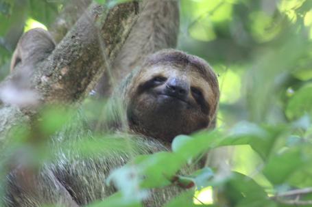 Brown-throated_three-toed_sloth_female_face_jpg_medium