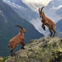 22mountain-goats