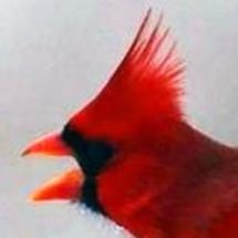 Cardinal_rotb