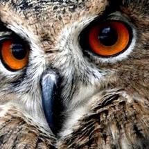 Owl_avatar