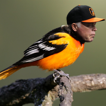 Baltimore_buck_oriole