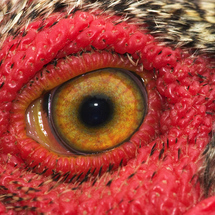 1804_rooster_eye
