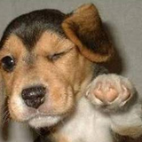 Dogface