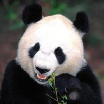 China-panda-pictures-1