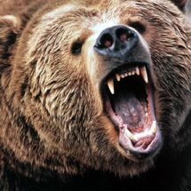 Angry-grizzly-bear