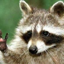 Racoon_has_a_question