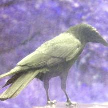 Crow1b