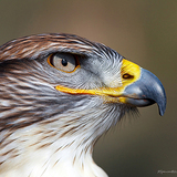 Rhonda-spencer-ferruginous-hawk