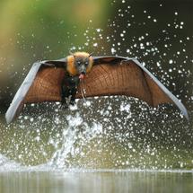 Bat_mini_ofer_levy