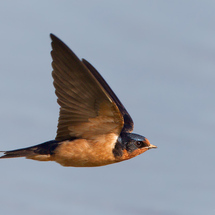Barn-swallow-axel-hildebrandt-800