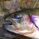 Rainbow-caught-on-moffitt-wooly-bugger1