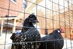 chickencoop4.jpg
