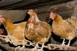 chickenssm.jpg