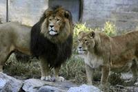 lions-southwicks-zoo-200-2.jpg