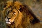 lion-tacos-150.jpg