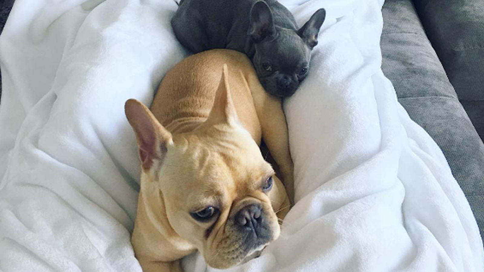 Cooper___cooper_and_pippa_da_frenchies____instagram_photos_and_videos.0.0