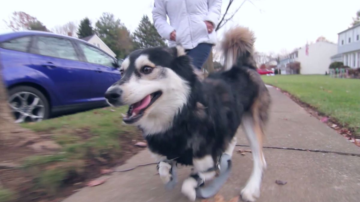 Watch a disabled dog run for the first time thanks to 3D-printed legs