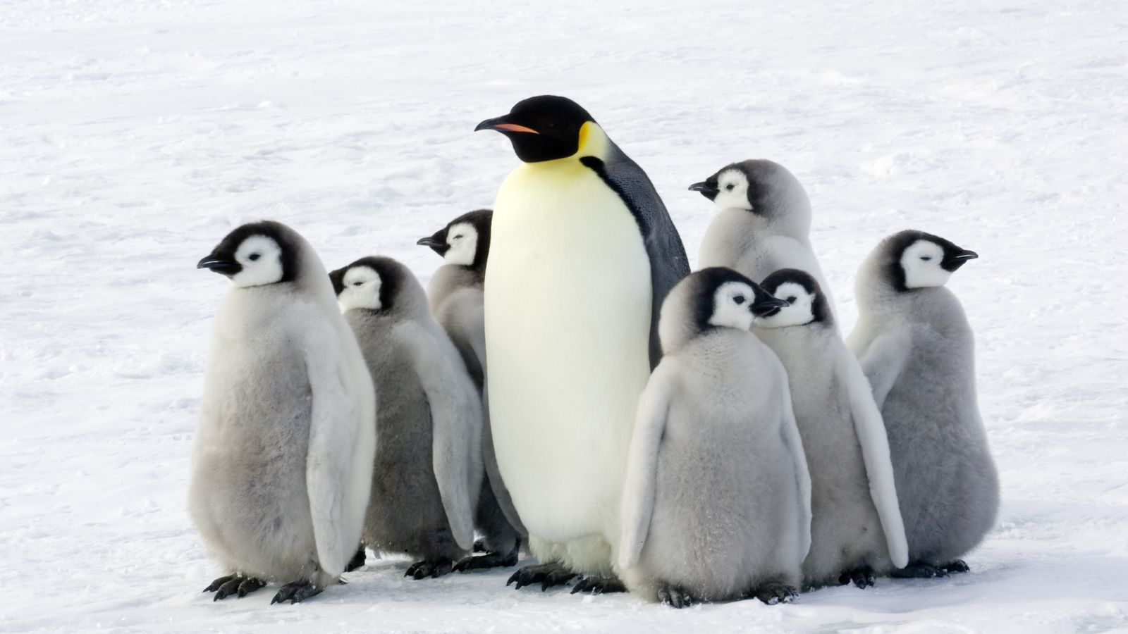 Penguins Love Eating Fish But Probably Can U0026 39 T Taste Them