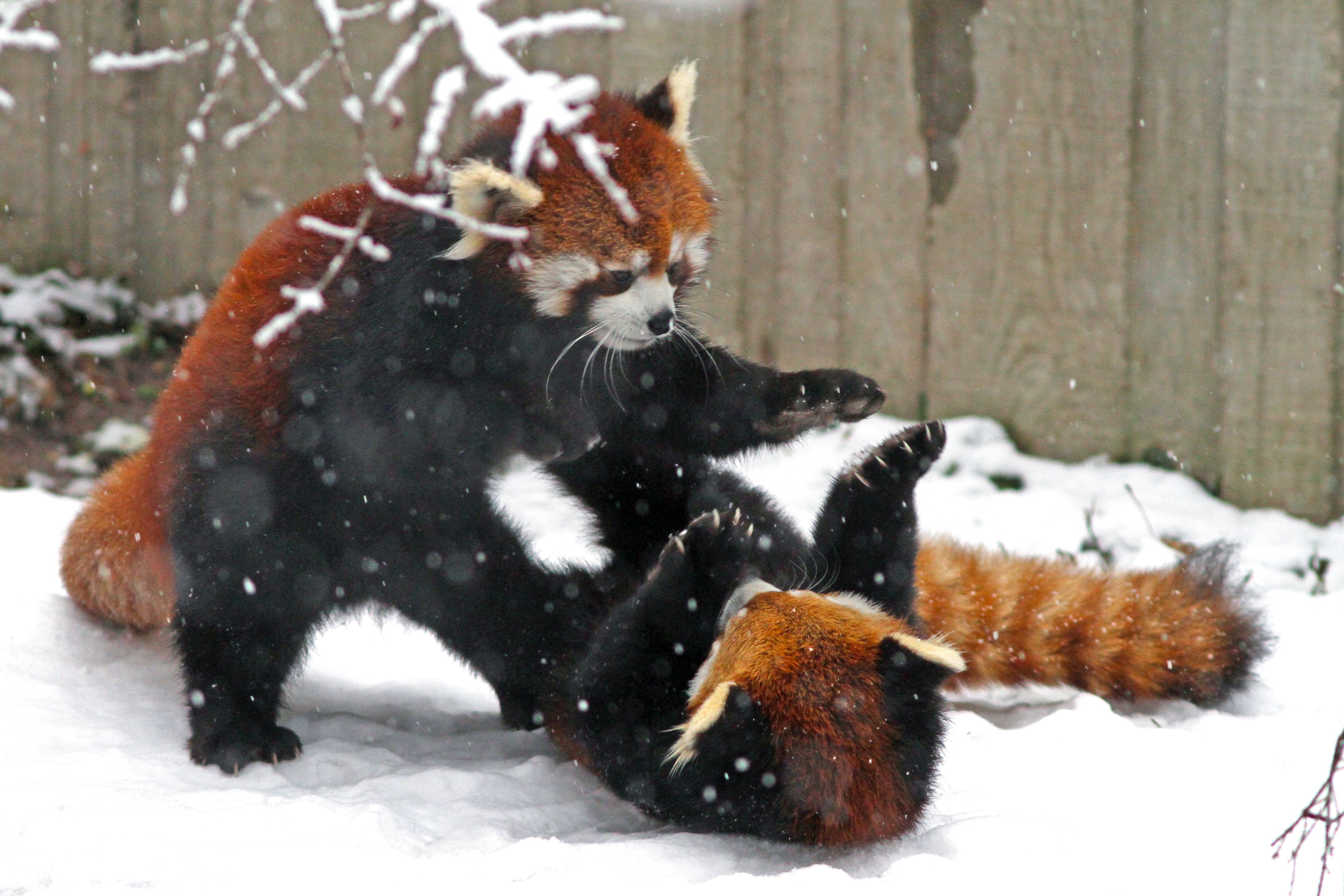 The Verge Review of Animals: the red panda | The Verge
