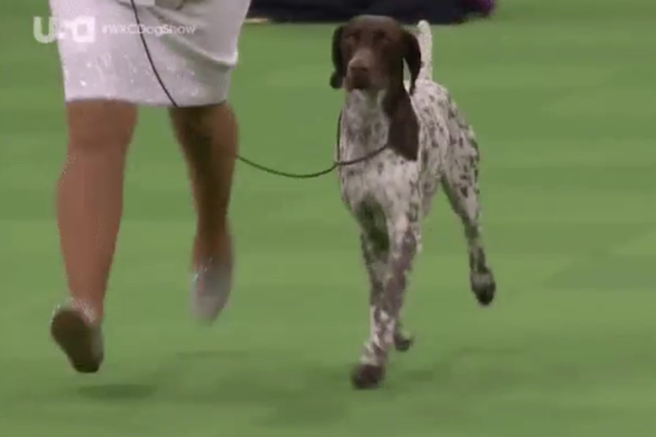 German shorthaired pointer wins Westminster dog show