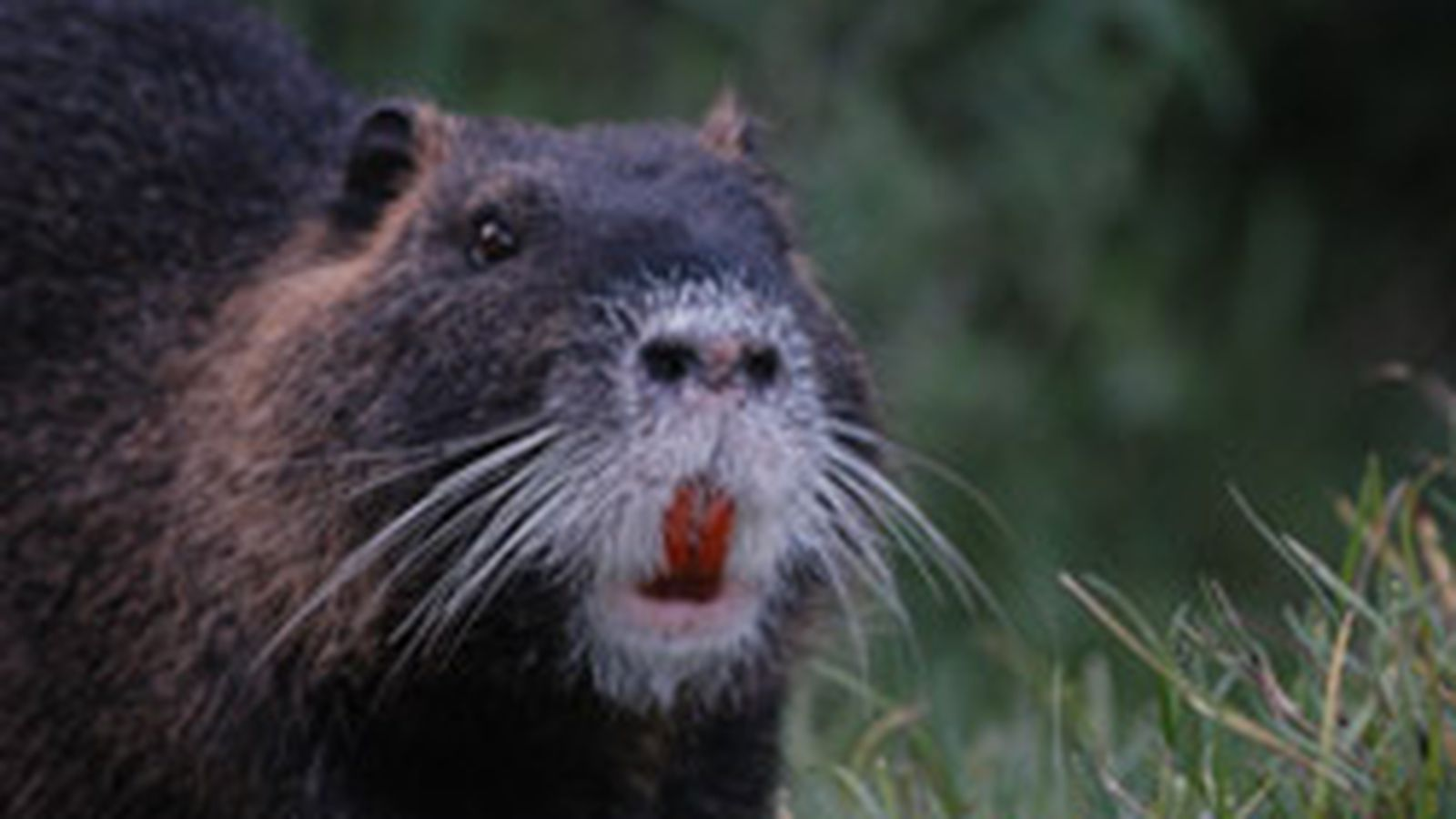 Inaugural Nutria Rodeo Happening Weekend Eater