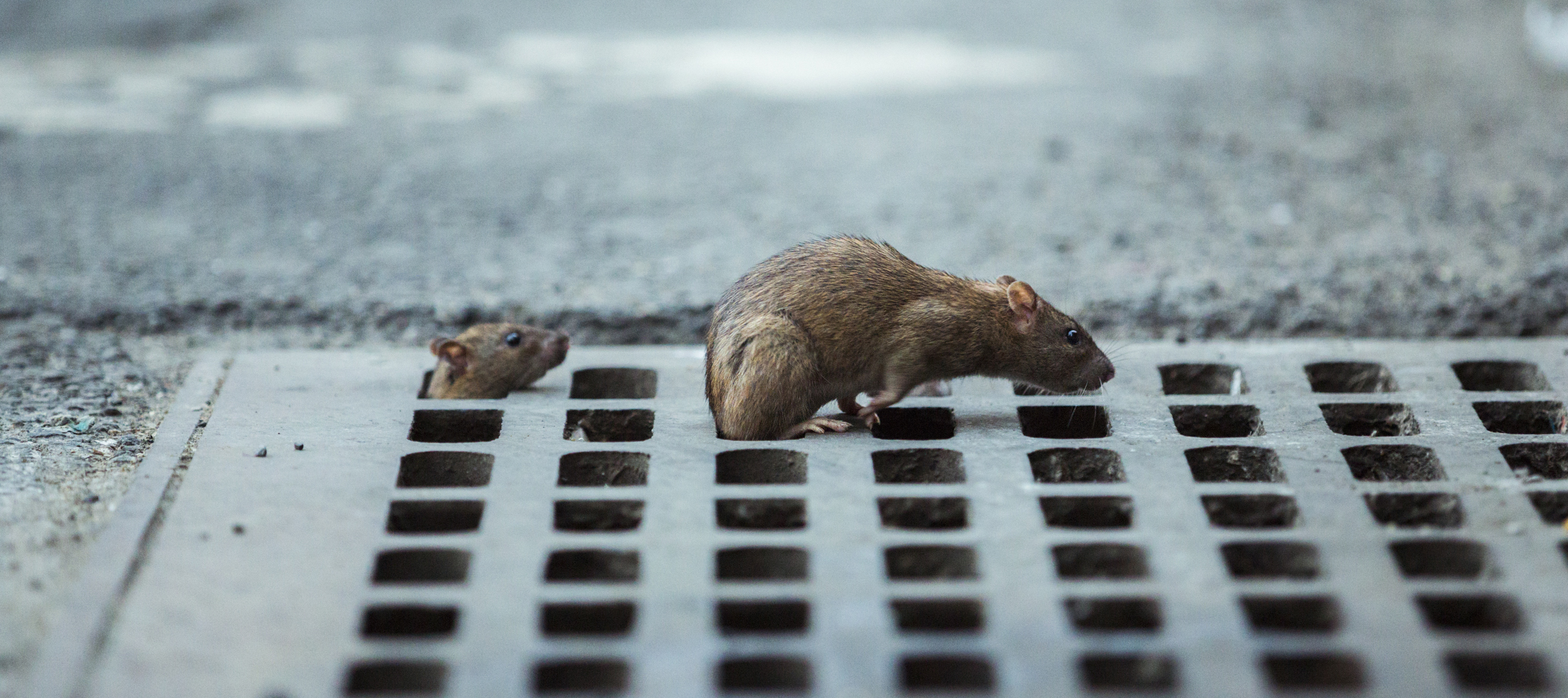 On The Front Lines Of Humanitys Hightech Global War On Rats - Nyc rat map